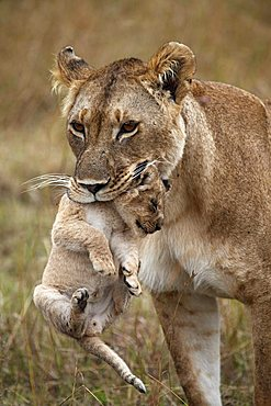 Lioness (Panthera leo) carrying a cub