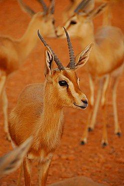 Gazelle, Sebha, Libya