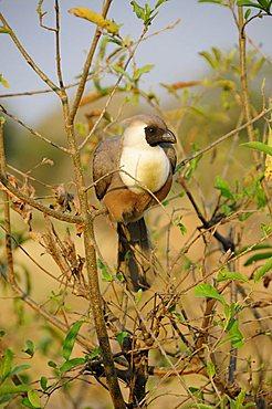 Bare-faced Go-away-bird (Corythaixoides personatus), Tarangire-National Park, Tanzania, Africa