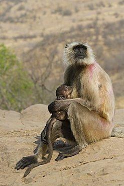 Hanuman Langur or Common Langur (Semnopithecus entellus), female with baby, Ranthambore National Park, Rajasthan, India