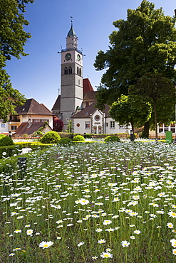 Field of flowers, Daisies (Leucanthemum), in front of the St. Nikolaus Minster in Ueberlingen, Lake Constance district, Baden-Wuerttemberg, Germany, Europe