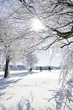 Snowy beeches and cross-country skiers at Mt. Schauinsland near Freiburg im Breisgau, Baden-Wuerttemberg, Germany, Europe