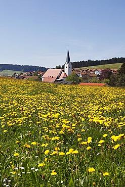 Dandelion meadow, Stiefenhofen, Upper Allgaeu, Allgaeu, Swabia, Bavaria, Germany, Europe