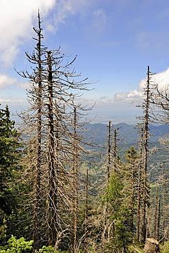 Dead spruce (Picea), caused by bark beetles (Scolytinae) on Mt Belchen, 1414m, Breisgau region, Upper Black Forest region, Baden-Wuerttemberg, Germany, Europe