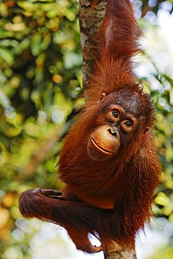 Orang-Utan (Pongo pygmaeus) in Tanjung Putting national park, Central-Kalimantan, Borneo, Indonesia