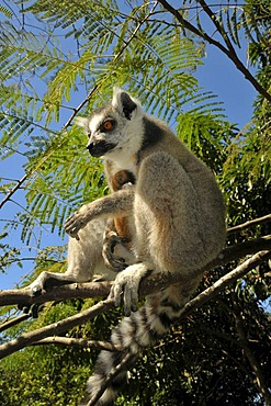 Ring-tailed lemur (Lemur catta) in the dry forests in the south of Madagascar, Africa, Indian Ocean