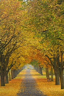 Large-leaved Linden (Tilia platyphyllos), tree-lined avenue in autumn