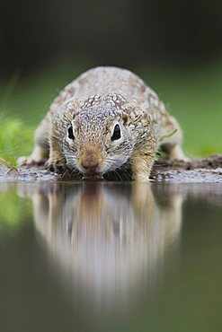 Mexican Ground Squirrel (Spermophilus mexicanus), adult drinking, Rio Grande Valley, Texas, USA