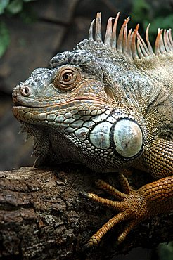 Iguana (Iguana iguana) in the Birds Park of Foz do Iguazu, Paraná, Brazil