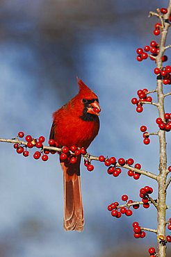Northern Cardinal (Cardinalis cardinalis), male eating Possum Haw Holly (Ilex decidua) berries, Bandera, Hill Country, Central Texas, USA