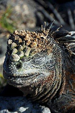Marine Iguana (Amblyrhynchus cristatus), Galapagos Islands, Ecuador, South America