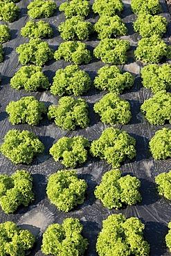 Lollo Bionda lettuce growing on mulch film, lettuce patch, theme gardens, Bundesgartenschau, BUGA 2011, Federal Horticulture Show, Koblenz, Rhineland-Palatinate, Germany, Europe