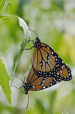 Queen (Danaus gilippus), pair mating, Willacy County, Rio Grande Valley, Texas, USA - 832-8322