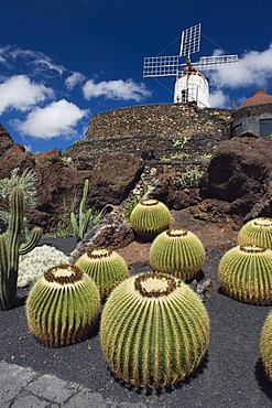 Golden barrel cactuses (Echinocactus grusonii) in front of a wind mill, Jardin de Cactus, a cactus garden built by the artist Cesar Manrique, Guatiza, Lanzarote, Canary Islands, Spain, Europe