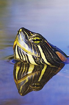 Red-eared Slider (Trachemys scripta elegans), adult swimming, portrait, Willacy County, Rio Grande Valley, South Texas, USA