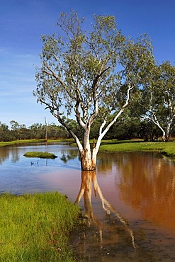 Eucalyptus tree (Eucalyptus) in water-covered landscape, Pilbara, Western Australia, Australia