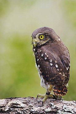 Ferruginous Pygmy-Owl (Glaucidium brasilianum), young newly fledged, Willacy County, Rio Grande Valley, South Texas, USA