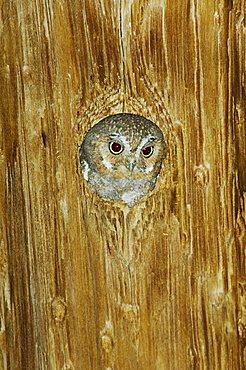 Elf Owl (Micrathene whitneyi), adult in nest hole in telephone pole, Madera Canyon, Tucson, Arizona, USA