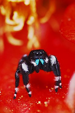 Daring Jumping Spider (Phidippus audax), adult in Texas Prickly Pear Cactus (Opuntia lindheimeri) blossom, Uvalde County, Hill Country, Central Texas, USA