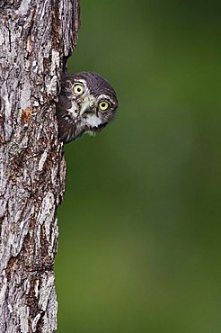 Ferruginous Pygmy-Owl (Glaucidium brasilianum), young looking out of nesting cavity, Willacy County, Rio Grande Valley, South Texas, USA