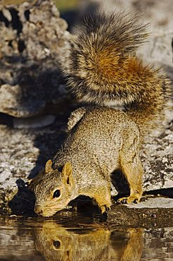 Eastern Fox Squirrel (Sciurus niger), adult drinking from spring fed pond, Uvalde County, Hill Country, Central Texas, USA