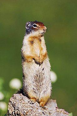 Columbian Ground Squirrel (Spermophilus columbianus), adult standing alert, Logan Pass, Glacier National Park, Montana, USA