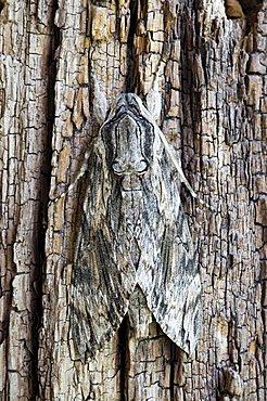 Convolvulus Hawk-Moth, hawkmoth (Agrius convolvuli), Schwaz, Tyrol, Austria, Europe