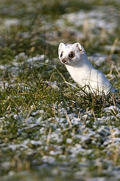 Stoat or Ermine (Mustela erminea), Zillertal valley, Tyrol, Austria, Europe