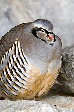 Rock Partridge (Alectoris graeca), Alpine Zoo, Innsbruck, Tyrol, Austria, Europe