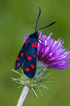 Variable Burnet Moth (Zygaena ephialtes), Lake Lutten, Mittenwald, Bavaria, Germany, Europe - 832-9044