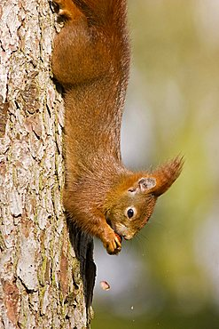 Red Squirrel (Sciurus vulgaris) hanging from a tree, nibbling a nut, Bremen, Germany, Europe