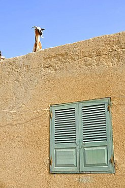 Goat on the roof of a building, Sal Rei, Boa Vista Island, Republic of Cape Verde, Africa