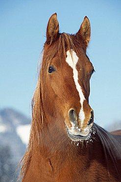 Spanish Arabian horse in winter, mare, North Tyrol, Austria, Europe
