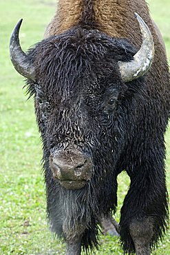 American Buffalo (Bison bison), portrait of a bull in heat, Yellowstone National Park, Wyoming, USA