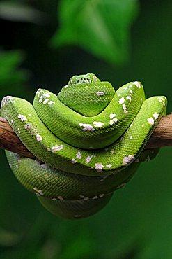 Green Tree Pythons (Morelia viridis)