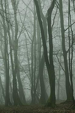 Fog in the Seilerwald forest, Iserlohn, Sauerland area, North Rhine-Westphalia, Germany, Europe
