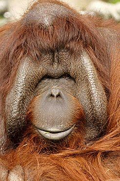 Northwest Bornean Orangutan (Pongo pygmaeus pygmaeus), male