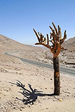 Candelabra cactus, road, Atacama desert, desert mountains, Arica, Norte Grande, northern Chile, Chile, South America