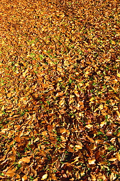Autumn leaves in Sheffield Park Garden, Sussex, England, United Kingdom, Europe