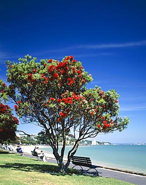 Mission Bay Beach and Pohutakawa tree, Auckland, North Island, New Zealand, Pacific