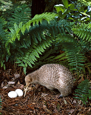 Little spotted kiwi with eggs, North Island, New Zealand, Pacific