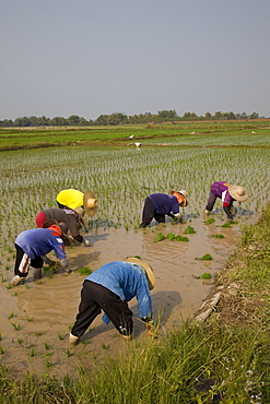 Rice planting, Chiang Mai, Thailand, Southeast Asia, Asia