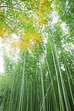 Bamboo forest, Arashiyama, Kyoto, Japan, Asia