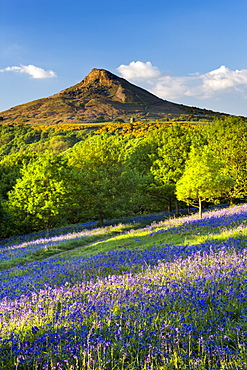 Evening light over the bluebells at Newton Wood, Roseberry Topping, Great Ayton, North Yorkshire, Yorkshire, England, United Kingdom, Europe