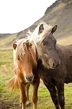 Horses, South Iceland, Polar Regions