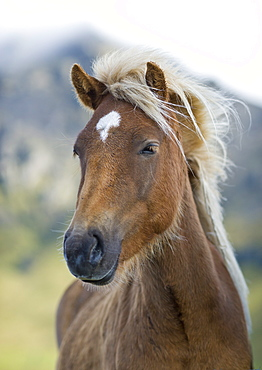 Wild horse, Iceland, Polar Regions