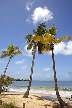 The pristine beach of Les Salines near to Sainte Anne, Martinique, West Indies, Caribbean, Central America