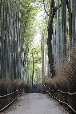 The Arashiyama Bamboo Grove in Kyoto, Japan, Asia