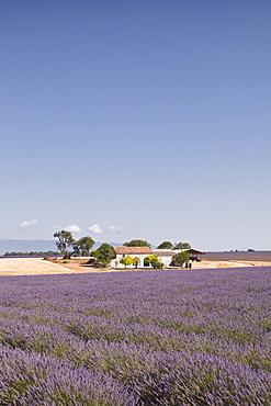 A house amongst lavender fields on the Plateau de Valensole, Alpes-de-Haute-Provence, Provence, France, Europe