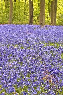 Bluebells beneath trees, West Woods, Wiltshire, England, United Kingdom, Europe